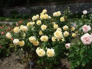 roses-1413554253z7A